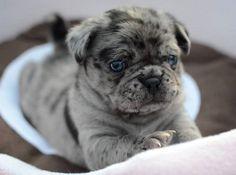 Pug and English Bulldog Miniature Bulldog