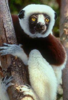 Coquerel's sifaka. Photo by Chuck Dresner/Saint Louis Zoo. #primates #Madagascar