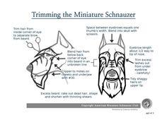 How to Groom a Miniature Schnauzer - Video - Schnauzer Gang
