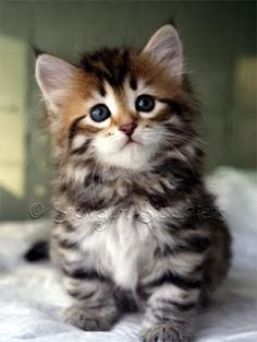 Siberian Kitten- known to be less allergenic and still fluffy!!!