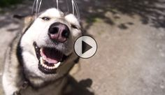This husky getting a head massage is the cutest thing on the internet!