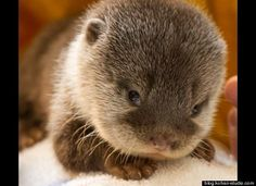 baby otters - OMG so terribly cute!