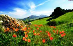 Pagórki, Łąki, Maki, Kwiaty, Wzgórza