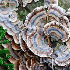 Turkey Tail Mushroom: The Disease-Fighting, Immune-Boosting Fungus Source by Turkey Tail Mushroom, Mushroom Tea, Mushroom Fungi, Edible Wild Mushrooms, Garden Mushrooms, Stuffed Mushrooms, Healing Herbs, Medicinal Plants, Bonsai