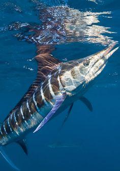 Marlin Fishing- It will happen! Underwater Creatures, Underwater Life, Salt Water Fish, Salt And Water, Sport Fishing, Fishing Tips, Fishing Knots, Fishing Lures, Marlin Fishing