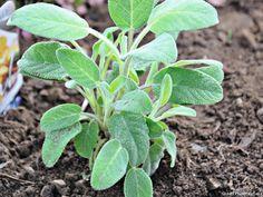 C'est une très belle plante qui donne du goût à tous vos plats. Adoptez-la. Plus
