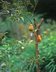 """Pear Trees:   The couple, who co-own an architectural firm, call their eight and a half acres Ho Hum Hollow, but thumb-twiddling isn't on the agenda. Besides building a new house, Page and Jozsa hacked through poison ivy, pried up basketball-size stones from the earth, and hauled manure to """"bring back the land."""""""