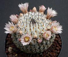 Mammillaria perezdelarosae v. andersonii