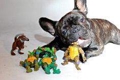 """I'ma eat Little Timmy's Teenage Mutant Ninja Turtles"".... ""nom, nom, nom....."", typical French Bulldog."
