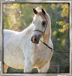 Beautifully-lit, this Grey Egyptian Arabian mare Imaaras Alixir is on our central Texas farm.