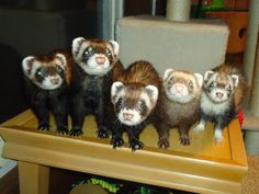 So many adorable ferret faces in one photo.