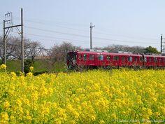 菜の花と養老鉄道(Rapeseed blossoms with Yoro Railway) #Japan #Spring