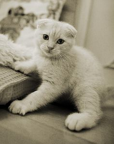 Unusual Cat Breeds or different kinds of cats. There so many different adjectives are used for describing these creatures, but some cats look very weird. Scottish Fold Kittens, Super Cute Cats, Kinds Of Cats, Cat Boarding, White Cats, Cat Breeds, Cool Cats, Lions, Dog Cat