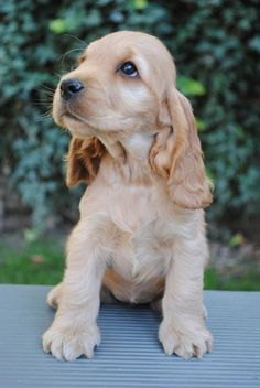 Einfach s dogs and puppies for sale cocker spaniel ideas Perro Cocker Spaniel, Golden Cocker Spaniel, English Cocker Spaniel Puppies, American Cocker Spaniel, Cute Dogs And Puppies, Baby Dogs, I Love Dogs, Doggies, Gsp Puppies