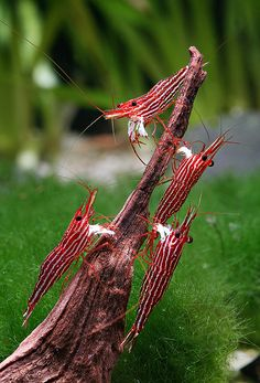 Sulawesi are probably the best-looking freshwater shrimp species almost in any colouration, but their water requirements make them a tough c...