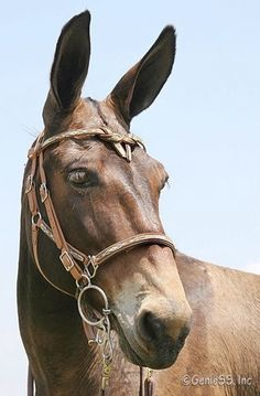 During the middle ages mules were ridden by royalty-Queen Isabella of Spain favorite mount was a white mule. Cute Baby Animals, Farm Animals, Animals And Pets, Draft Mule, Mules Animal, Draft Horses, Horse Love, Wild Horses, Or Antique