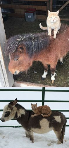 Teton was brought to the farm to keep the mice in check. But he turned out to be the kind of cat who kept all the animals in line — demanding they give him rides.
