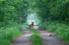 Incredible Wolf sighting in Białowieża Forest, Poland Tiefling Bard, Visit Poland, Photo Report, You're Awesome, Amazing Nature, Beautiful World, Animal Kingdom, Trip Advisor, Places To Go