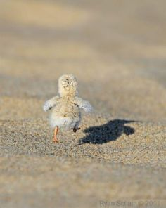 Day old plover chick running across the sand at Lake McConaughy, NE(probably.. not probably but definitely cute! :p)
