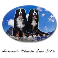 http://www.bernese-edelweissdellostelvio.com/