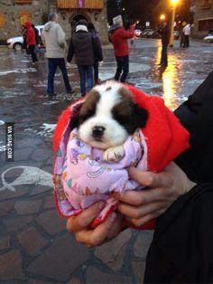 Little Saint Bernard! Puppies And Kitties, Cute Puppies, Cute Dogs, Corgi Puppies, Doggies, Cute Little Animals, Cute Funny Animals, St Bernard Puppy, Large Dog Breeds