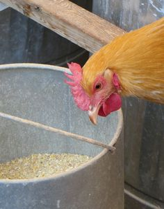 The keeping and care of backyard chickens - so much information here!