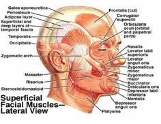 Lecture Notes In Dentistry: Lecture Notes for Muscles of the Head and Neck