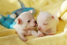 Two #Chihuahua #puppies planning their escape.  For more cute pinable pictures of puppies click on this image