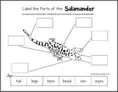 Life Cycle of a Salamander Printables