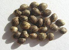 buy marijuana seeds in canada http://www.growingmarijuanaebook.com/