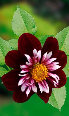 Dahlia ~ 'Night Butterfly'