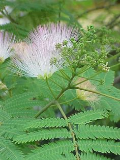 Albizia Julibrissin - Persian Silk Tree Bark Extract- Use in happiness tea