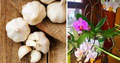 Készítsünk fokhagymás oldatot, és bírjuk virágzásra az orchideákat! Mostani cikkünkben elmondjuk, hogyan használhatjátok fel a fokhagymát az orchidea virágzásához! Indoor Plants, Orchids, Garlic, Vegetables, Gardening, Inside Plants, Vegetable Recipes, Garten, Indoor House Plants