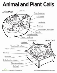 Plant Cell coloring Diagram Worksheet Answers | Science-Cells ...