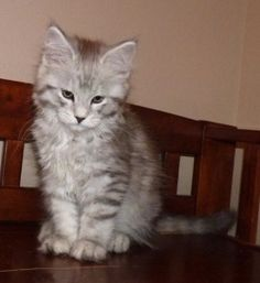 Maine Coon Domestic Cats For Sale Everything you need to know about how to adopt a cat, bringing your new cat home, cat health and care and more! Cats For Sale, Baby Kittens, Domestic Cat, Cat Health, Maine Coon, Adoption, Gallery, Rescue Cats, Animals
