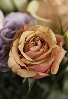 Birthday rose   by catnaxis1