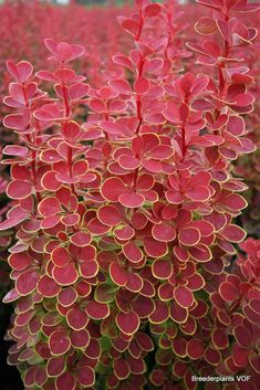 Berberis thunbergii 'Orange Sunrise' - Breederplants - I've researched this and found out it is highly aggressive and banned in numerous states