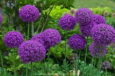 Alliums are magical