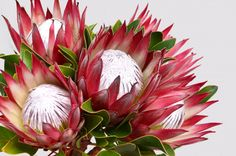Red protea flower bunch on a white isola. Protea Art, Flor Protea, Protea Flower, Exotic Flowers, Pretty Flowers, Australian Native Flowers, Bunch Of Flowers, Flower Art, Flower Frame