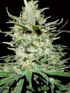 Buy Amnesia Haze Feminized seeds online at the Marijuana Seedshop. Yield up to 450 grams a square meter! Amnesia Haze Feminized marijuana seeds are 35% Indica and 36% Sativa. Amnesia Haze Feminized buds will have eventually 25% THC and 0.90% CBD. these Amnesia Haze Feminized seeds has a flowering time of 10 weeks.