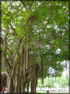 Banyan Trees in Straub Park on Beach Drive Downtown St. Petersburg, Florida