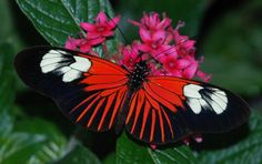 "https://flic.kr/p/9Mp2SD   044e2 like a sunburst   2011 Butterflies of Brazil ---  Krohn Conservatory  ---   Cincinnati OH   View Awards Count    *** check out the entire set  ""2011 Butterflies of Brazil"" www.flickr.com/photos/25171569@N02/sets/72157626777981124/  Featured on the Blogspot ""Damn I Wish I'd Taken That!  www.damniwish.blogspot.com/ Sunday, June 26, 2011"