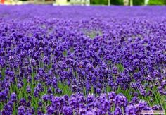 Lavender English Vera-1000 Bulk Seeds