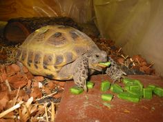 My younger female Russian tortoise eating one of the best items you can feed them , chopped cactus pad.