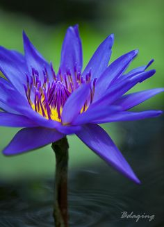 Water Lily   by Bdaging on Flickr