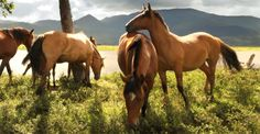 CAVALOS CRIOULOS - CABALLOS CRIOLLOS - CRIOULO HORSES