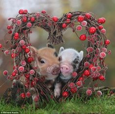 cute little pigs