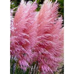 50 Pink Pampas Grass Seeds Heirloom Pampas Grass Seeds, Non-GMO Pampas... ❤ liked on Polyvore featuring home, outdoors and garden tools