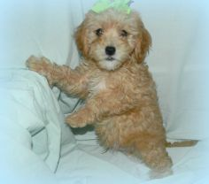 23 Best Cavapoos images in 2019 | Animais, Animales, Animaux