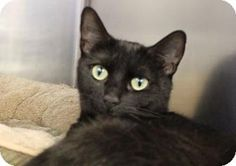 Westampton, NJ - Domestic Shorthair. Meet C-64011 Honey, a cat for adoption. http://www.adoptapet.com/pet/12888829-westampton-new-jersey-cat
